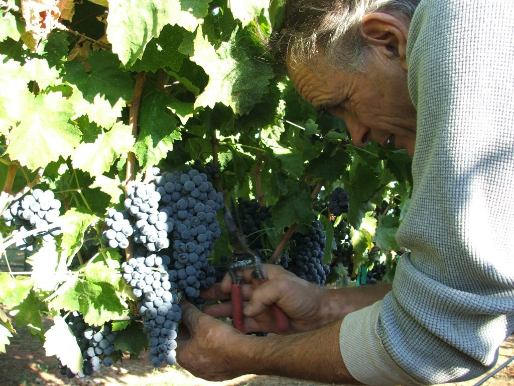 Nello Olivo in the vineyard